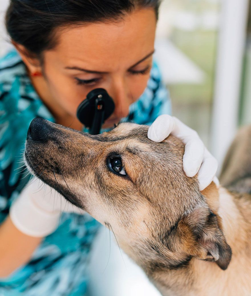 veterinarian wearing blue shirt checking dog's eye at veterinary care unlimited