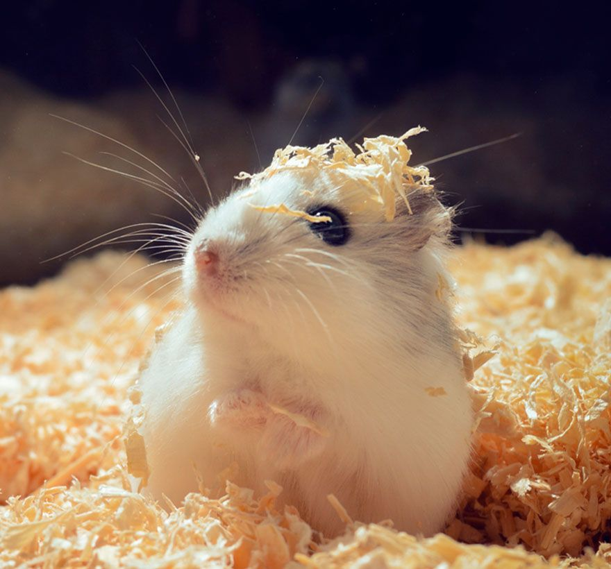 hamster on a bed of sawdust in his cage at veterinary care unlimited
